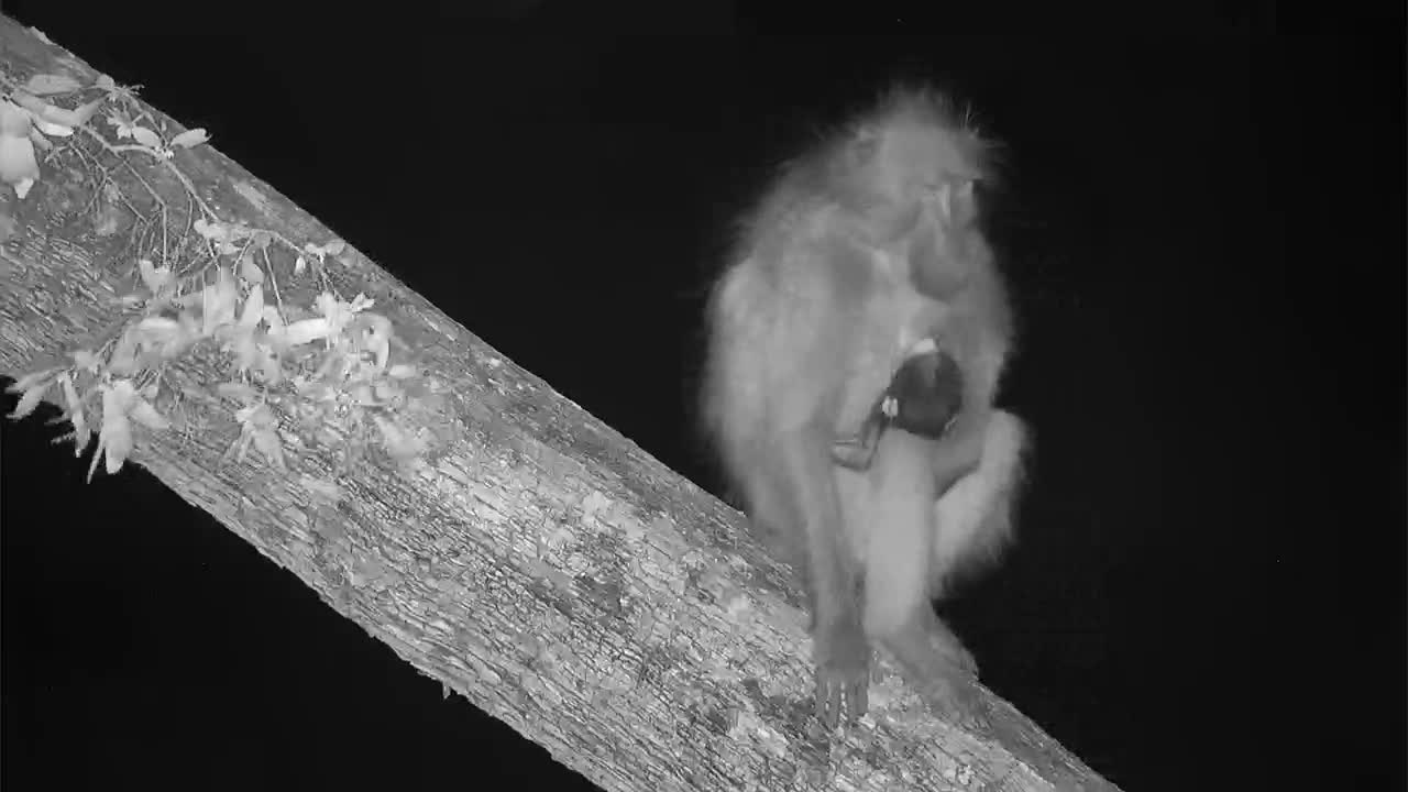 VIDEO: Baby baboon nursing