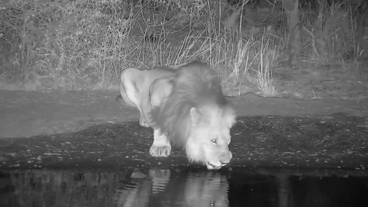 VIDEO: Lone male lion drinking