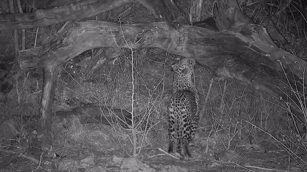 VIDEO: Leopard marking its territory