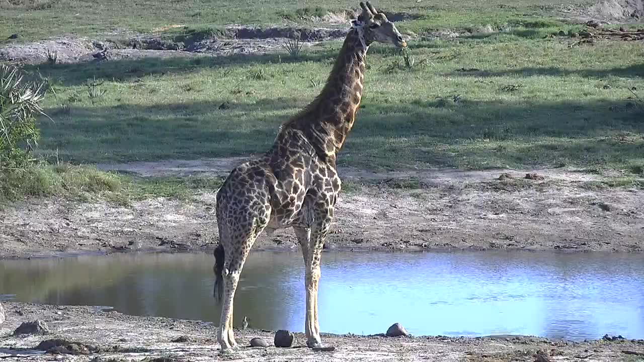 VIDEO:Giraffe check the Area around the Waterhole