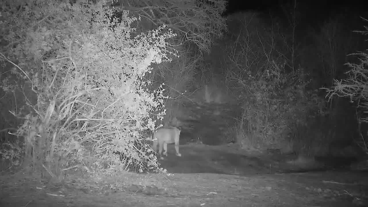 VIDEO: Lions walk into the thicket