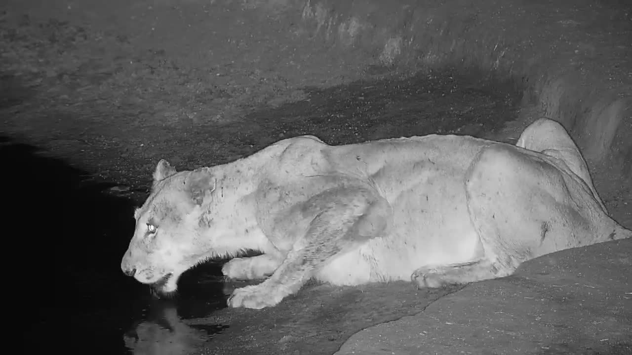 VIDEO: Lioness stops by the waterhole (Part 2) (No Audio)