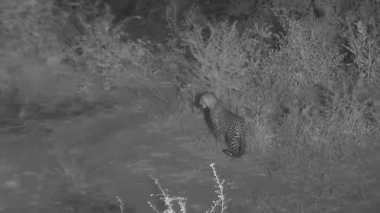 VIDEO:  Leopard walking by the waterhole