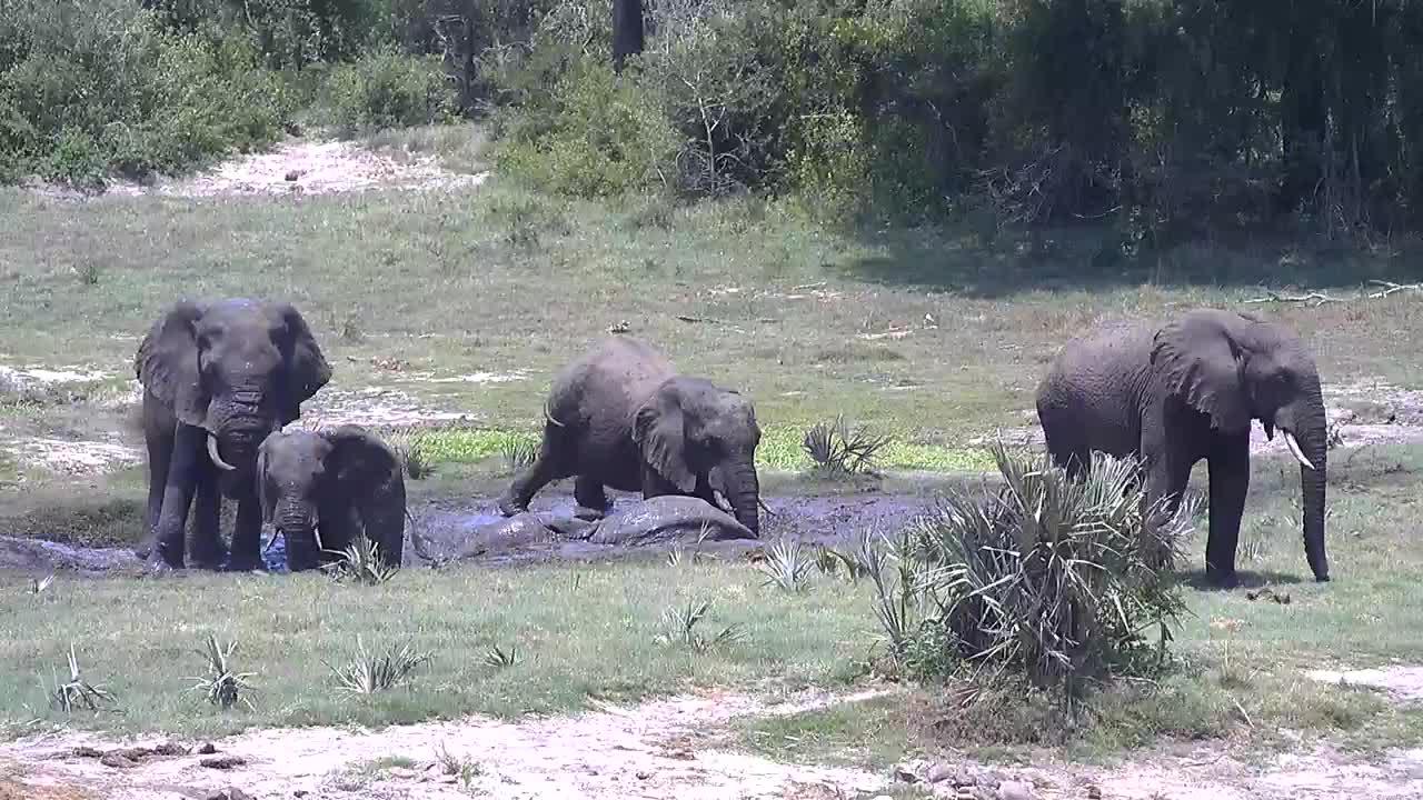 VIDEO: Elephants having a mud treatment