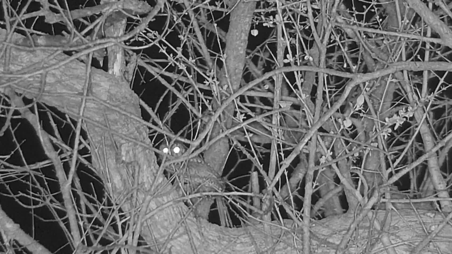 VIDEO: Scops Owl in tree and calling