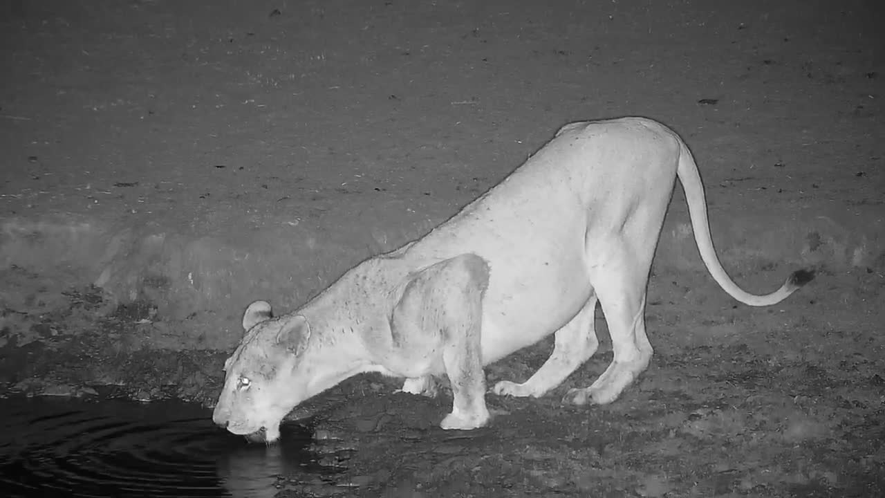 VIDEO: Lioness drinks at the waterhole (No Audio)