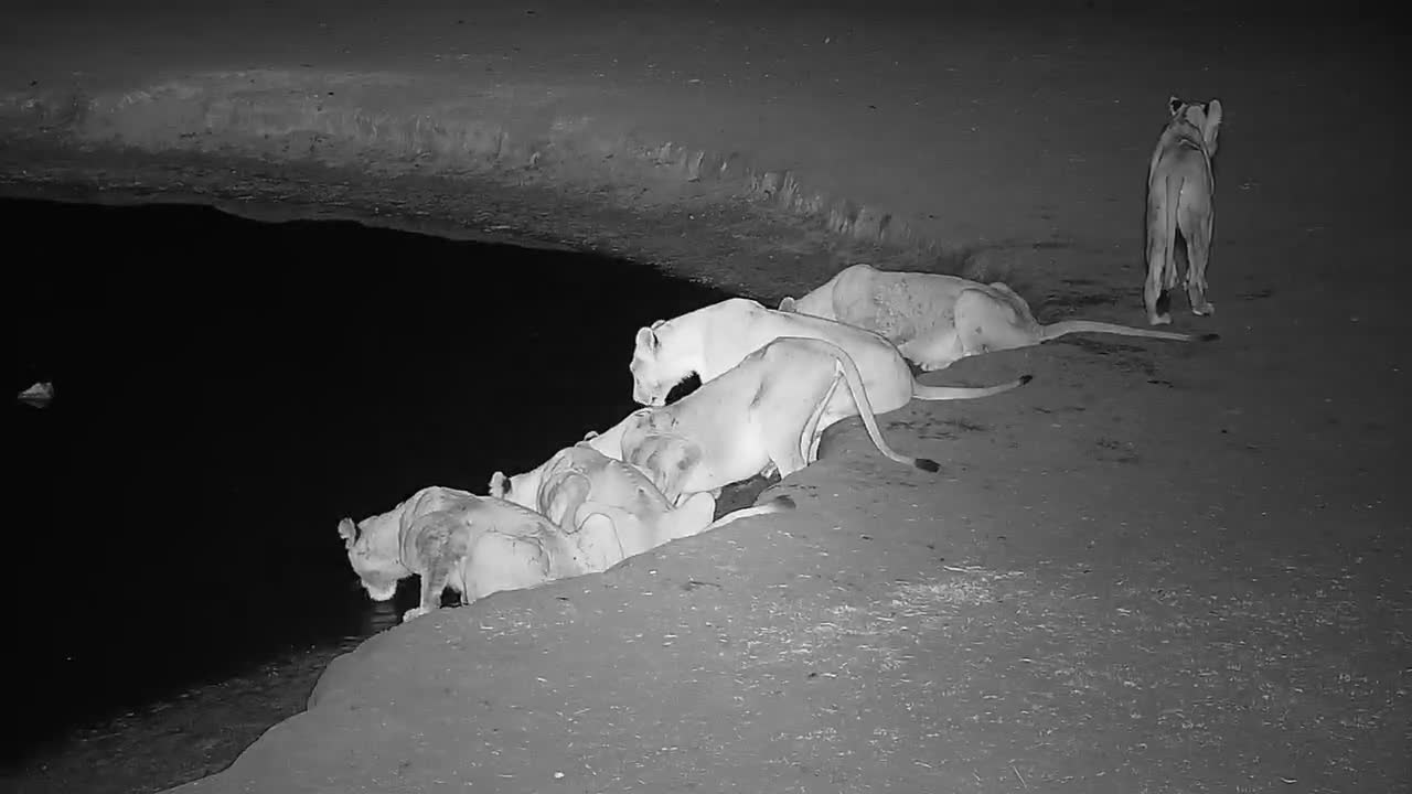 VIDEO: A Lion pride stops by the waterhole for a drink (No Audio)