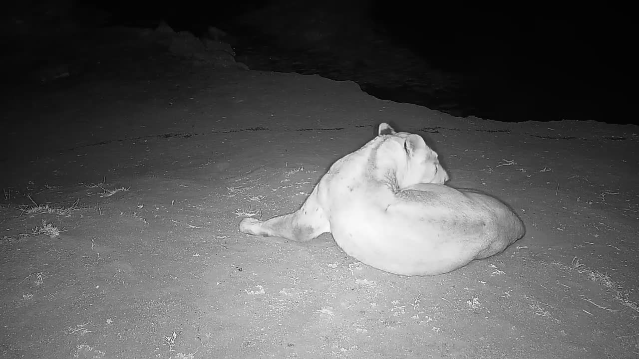 VIDEO: Lions drink and rest by the waterhole (Part 1) (No Audio)