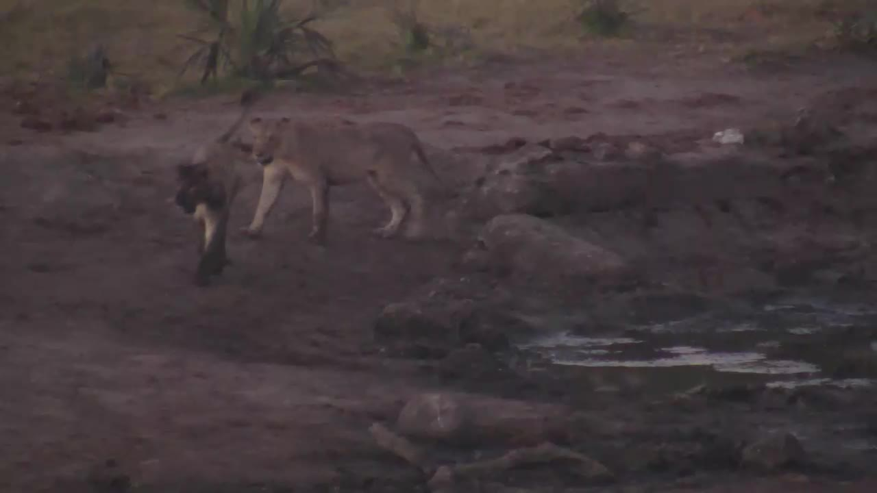 VIDEO: Lions drinking water and playing to start off the day