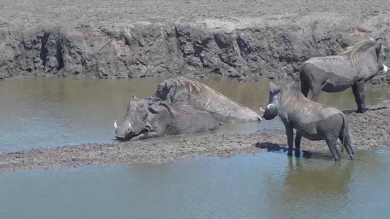 VIDEO: Wallowing Warthogs