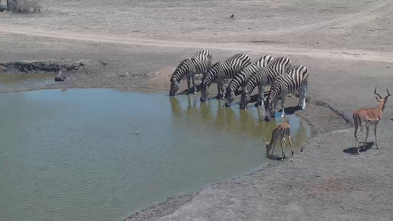 VIDEO: Zebras and Impala drinking