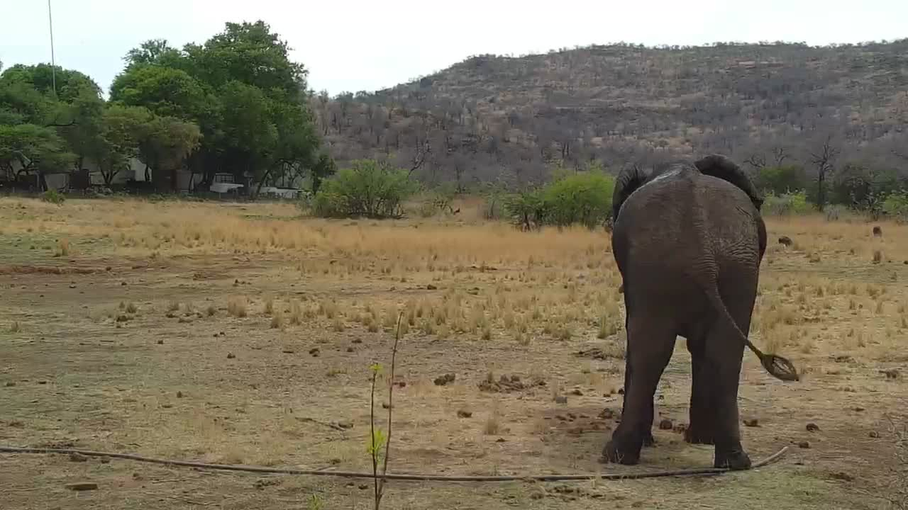 VIDEO: Elephant Bull playing with a hose