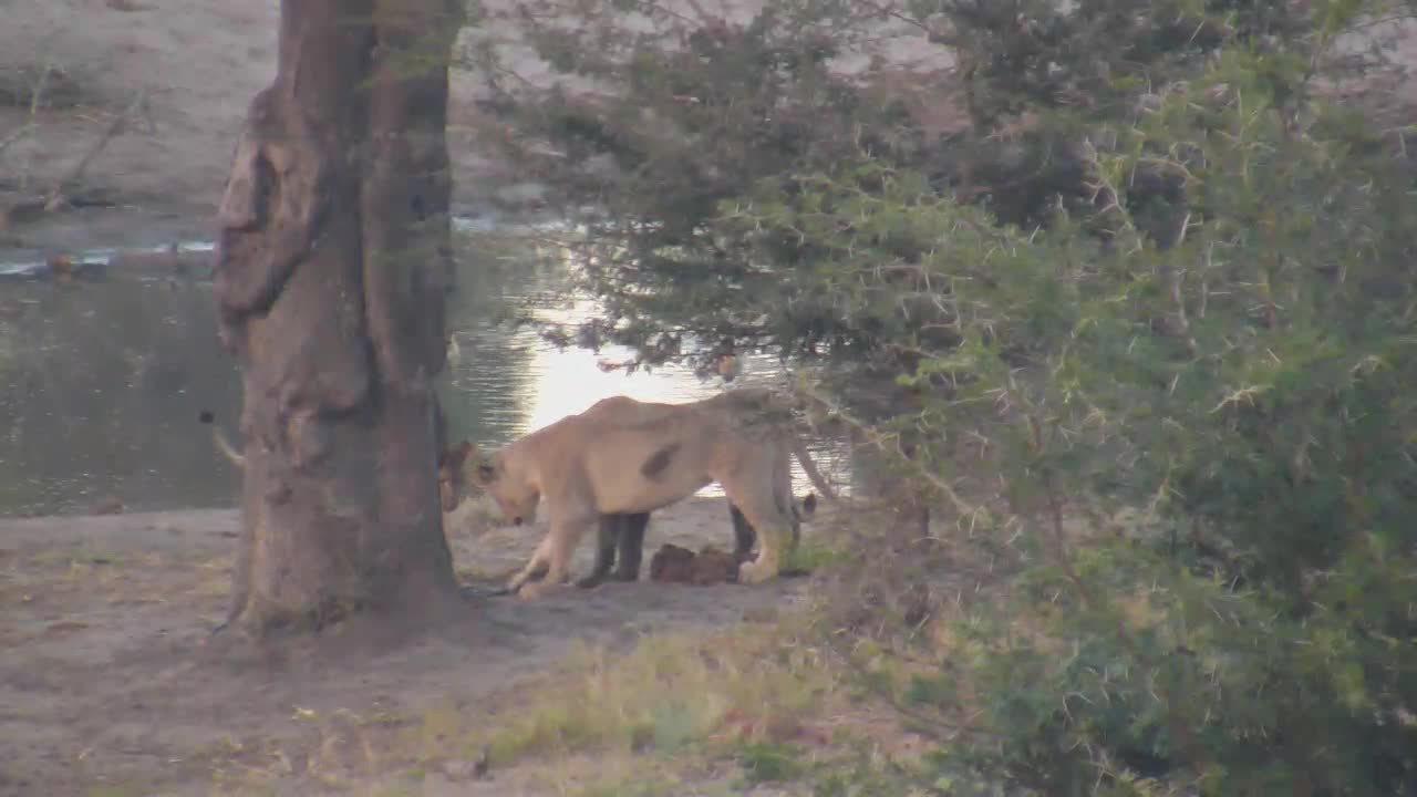 VIDEO: Lions found old cable to play with