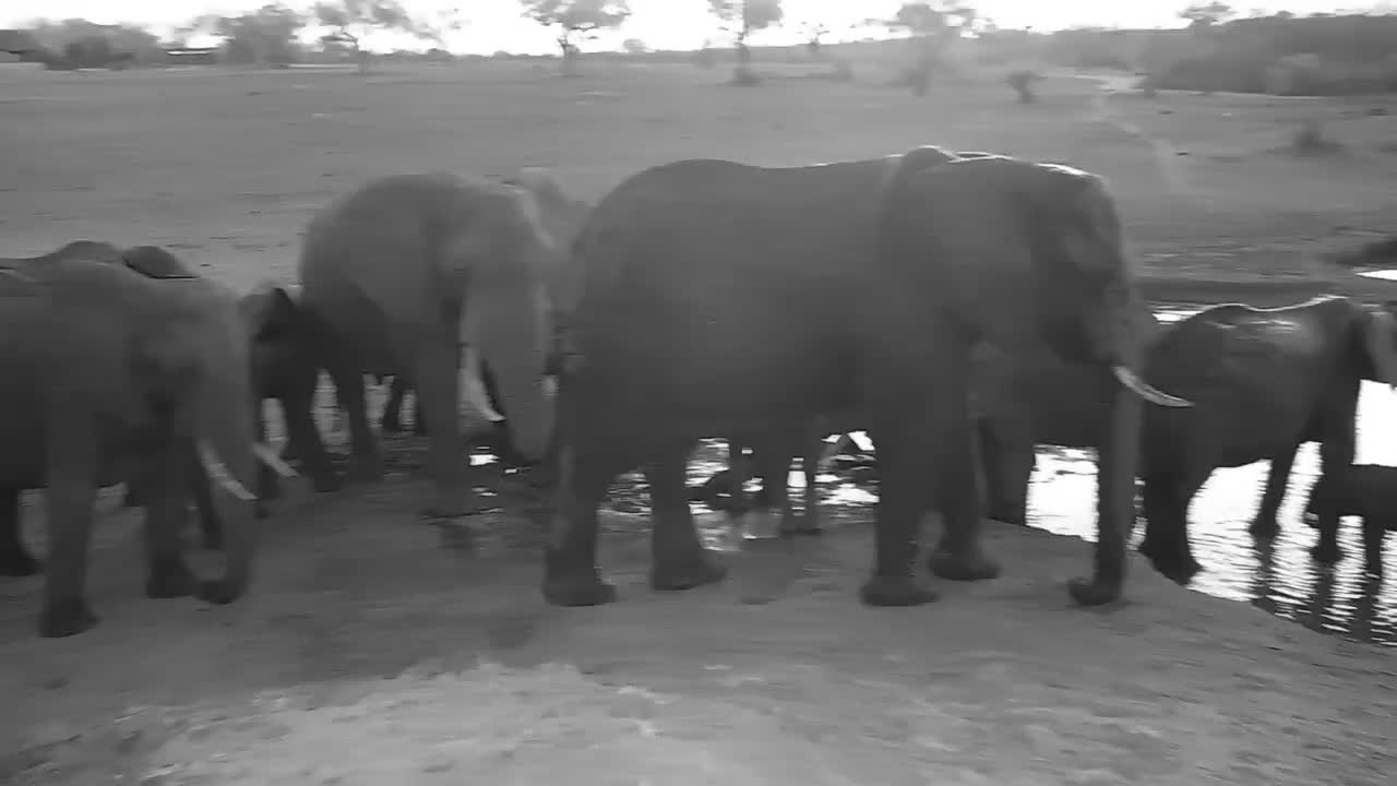 VIDEO: Elephants at the waterhole with many young ones