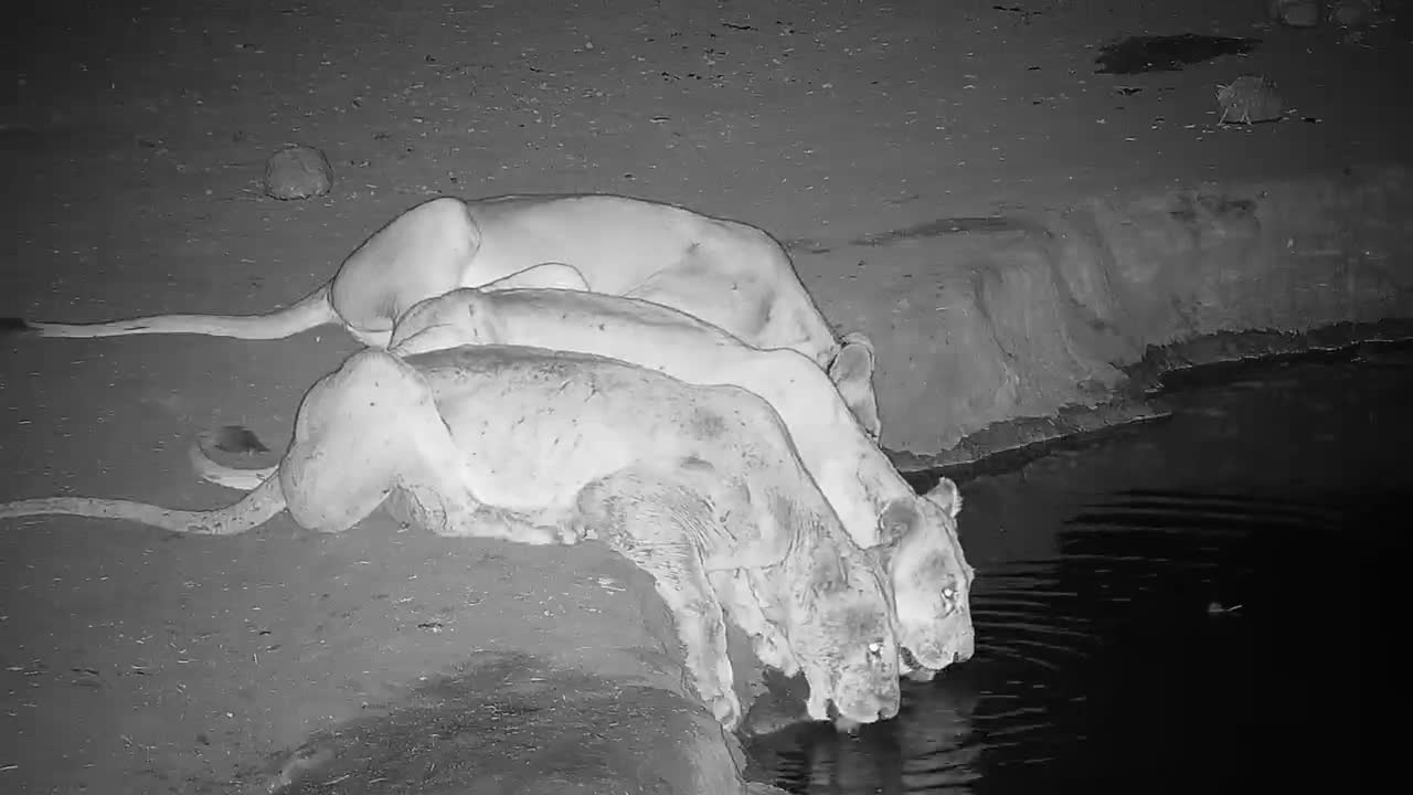 VIDEO: Lions drinking