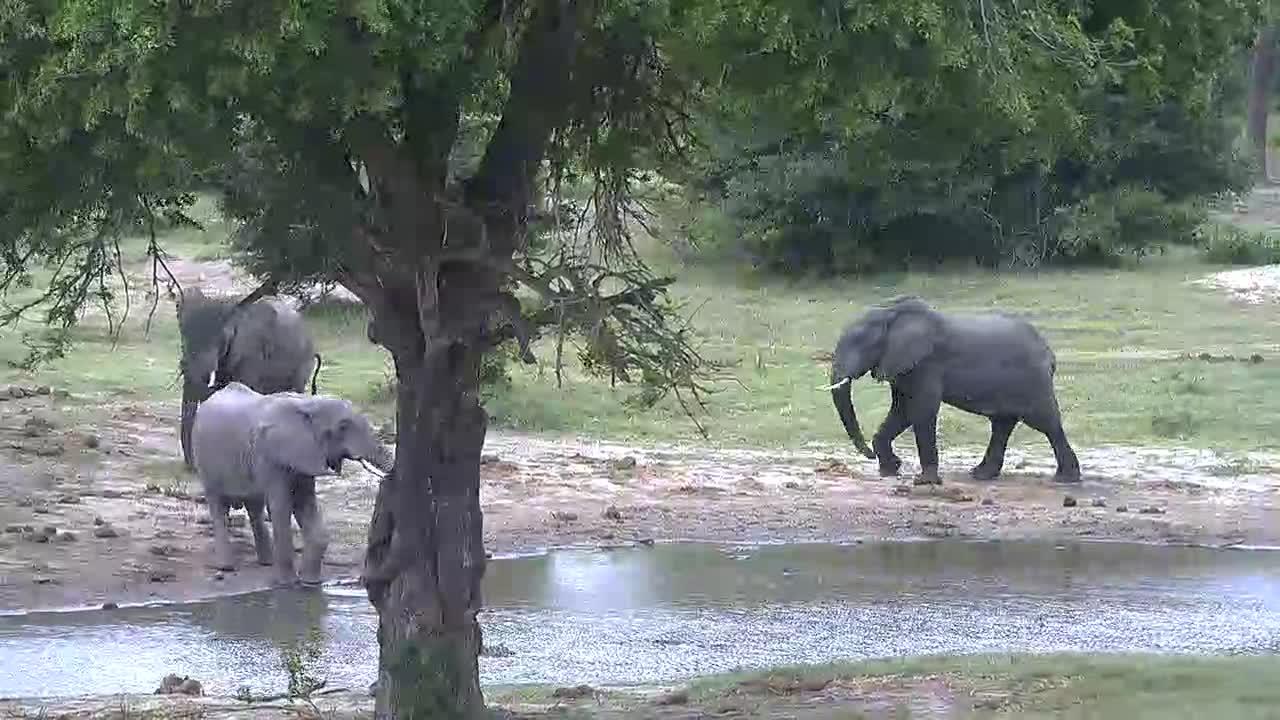 VIDEO:  Elephants mock fighting