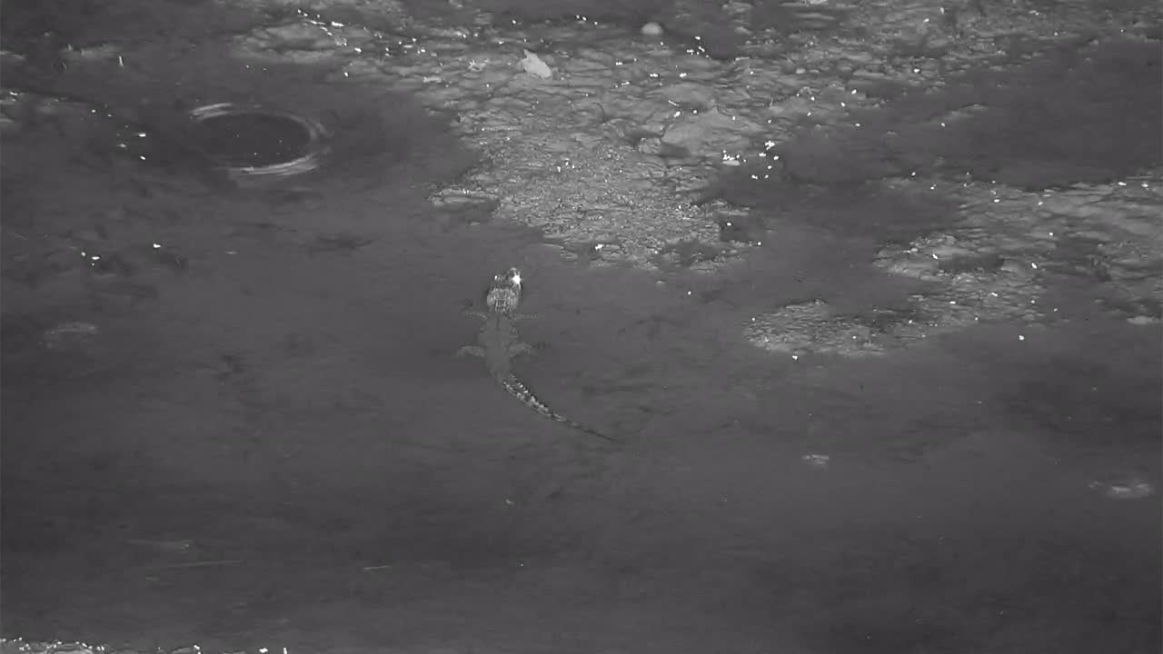 VIDEO: Young Nile Crocodile waiting for a meal