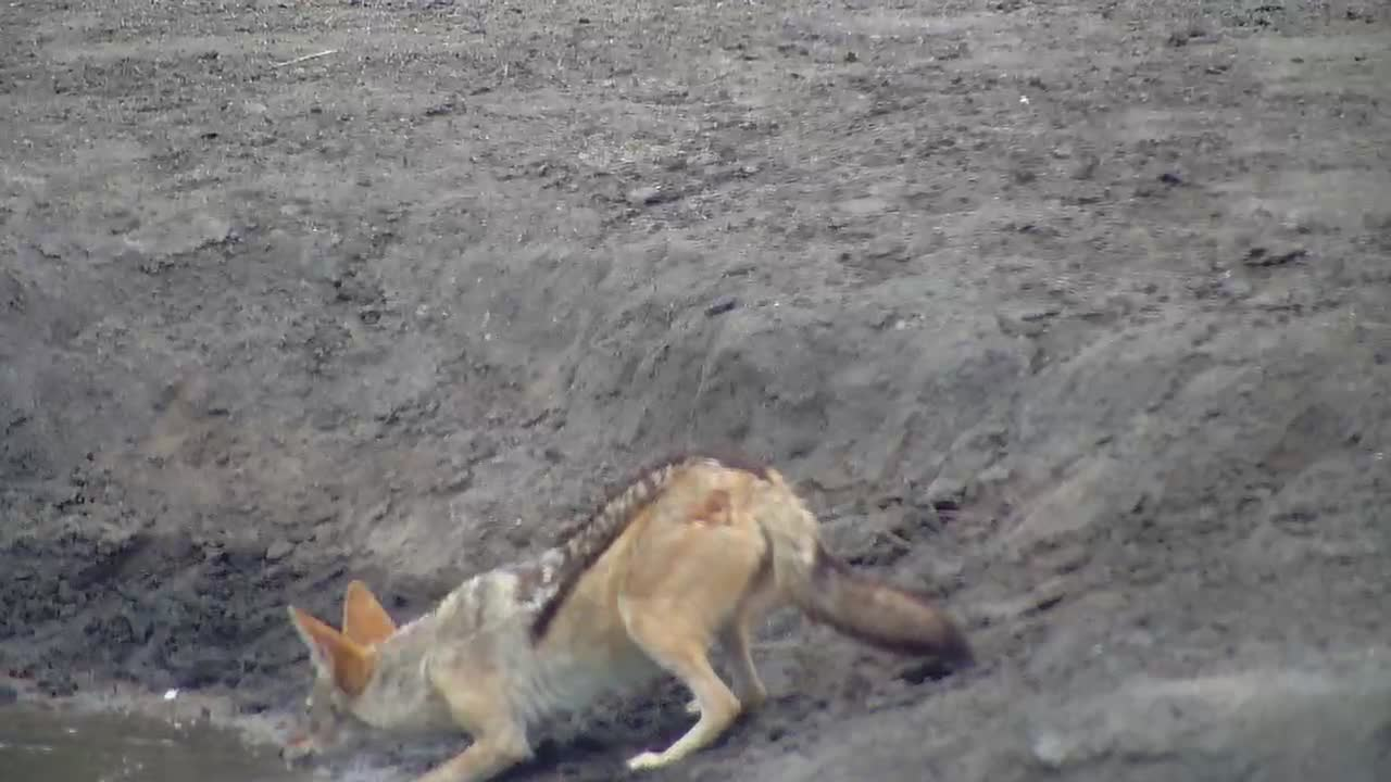 VIDEO: Black-backed Jackals at the waterhole