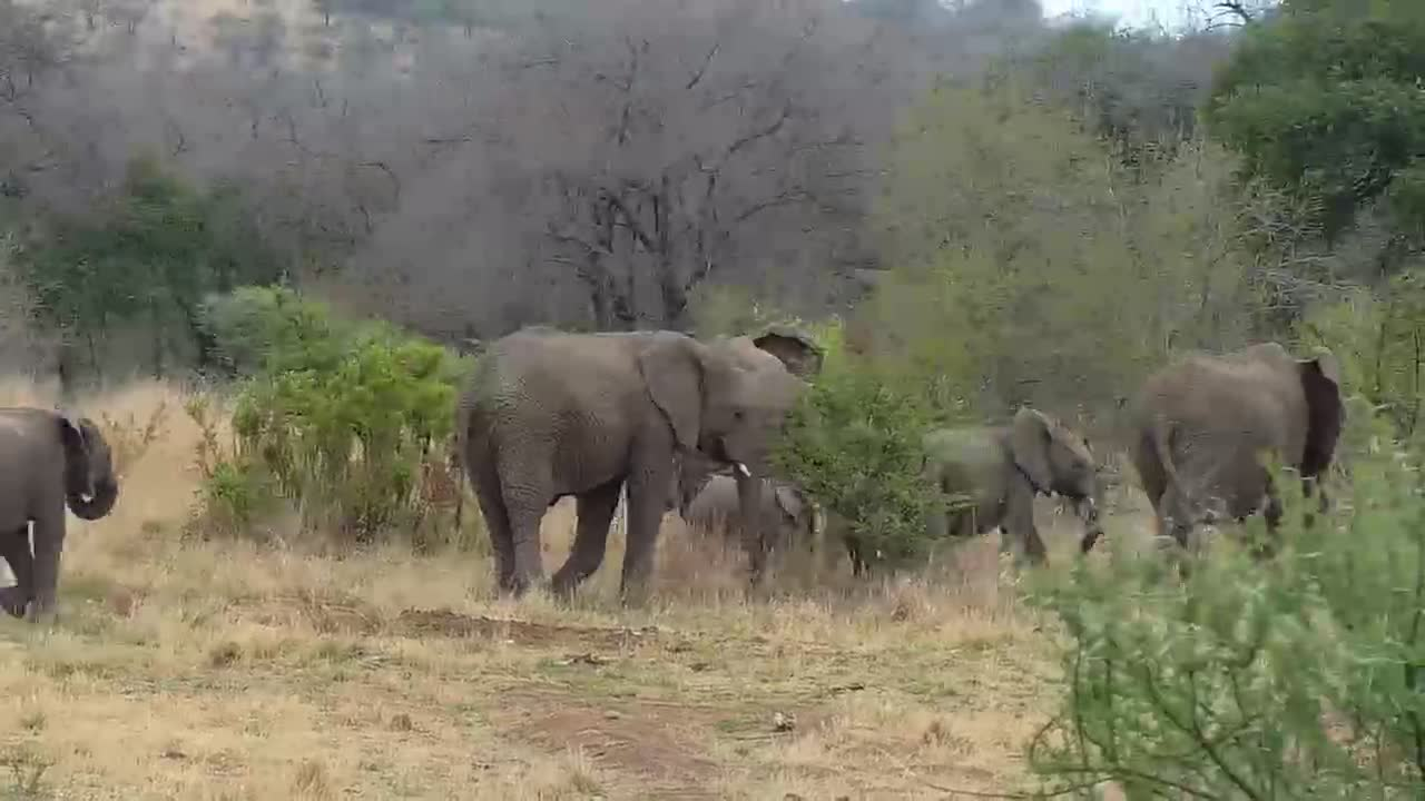 VIDEO: Elephant herd coming from the lodge to feed
