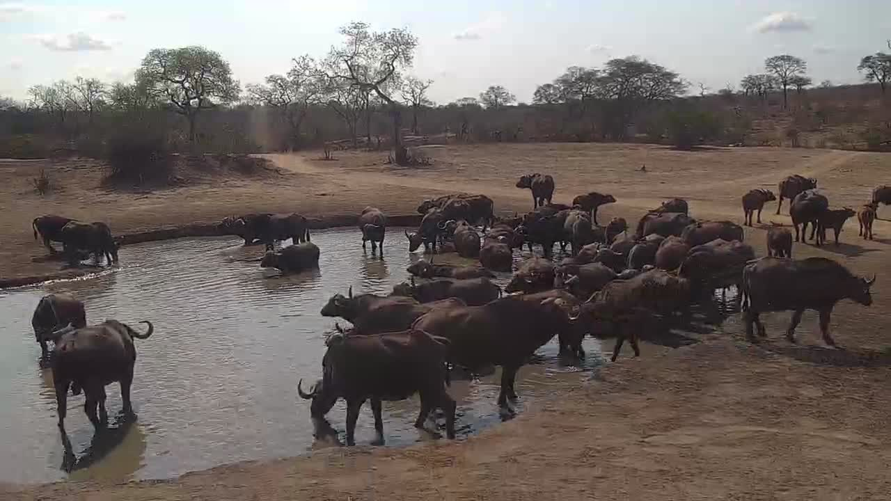VIDEO: Cape Buffalo herd came to drink and to bathe in the waterhole