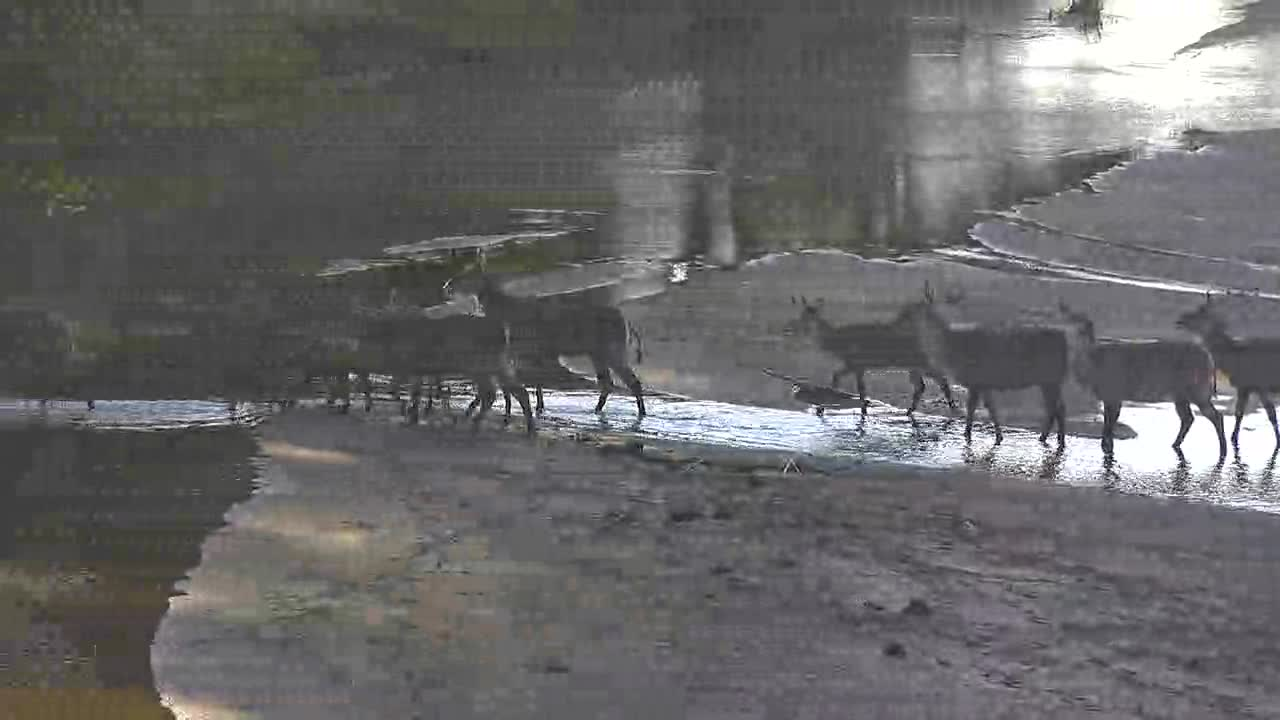 VIDEO: Waterbuck cautiously crossing the river