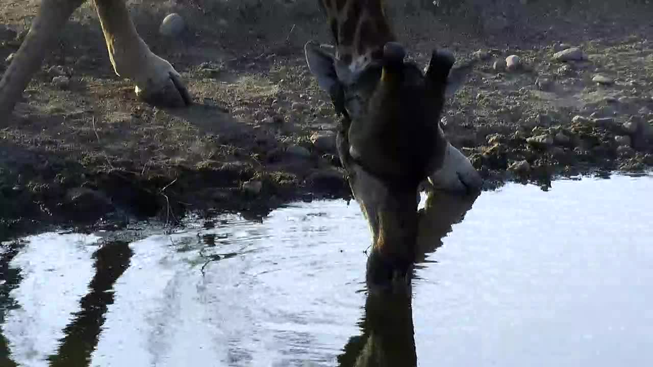 VIDEO: Giraffe up close and personal