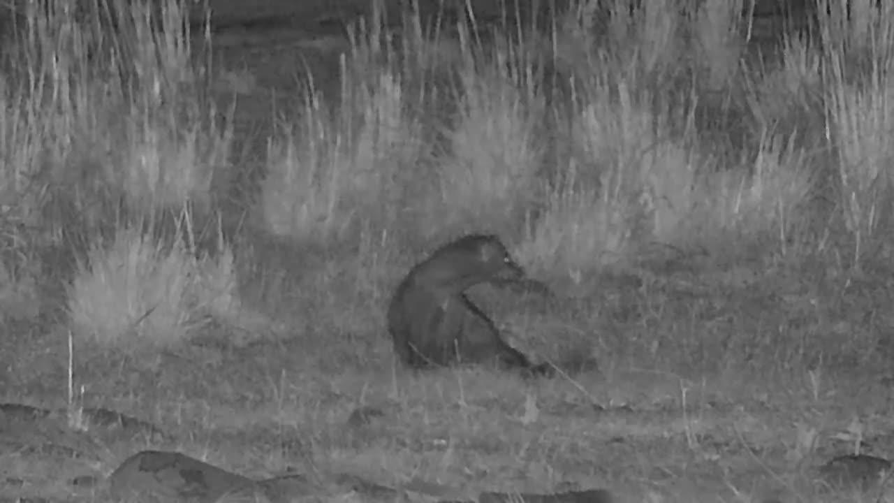 VIDEO: White-tailed mongoose & impala