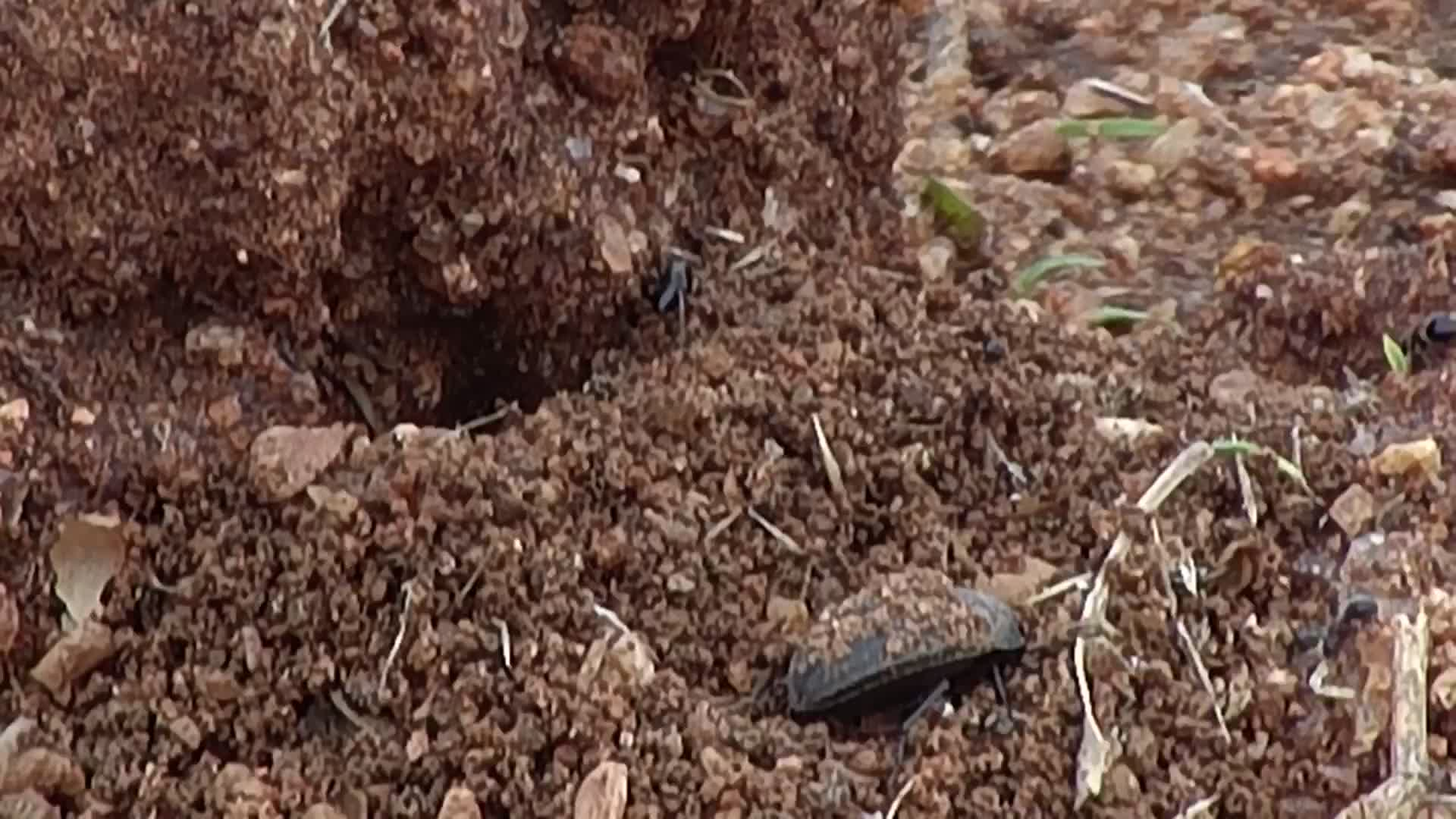 VIDEO: Ants doing some remodeling as a beetle watches on