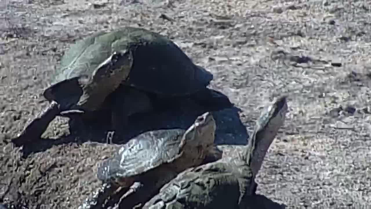 VIDEO: Terrapins sunning themselves