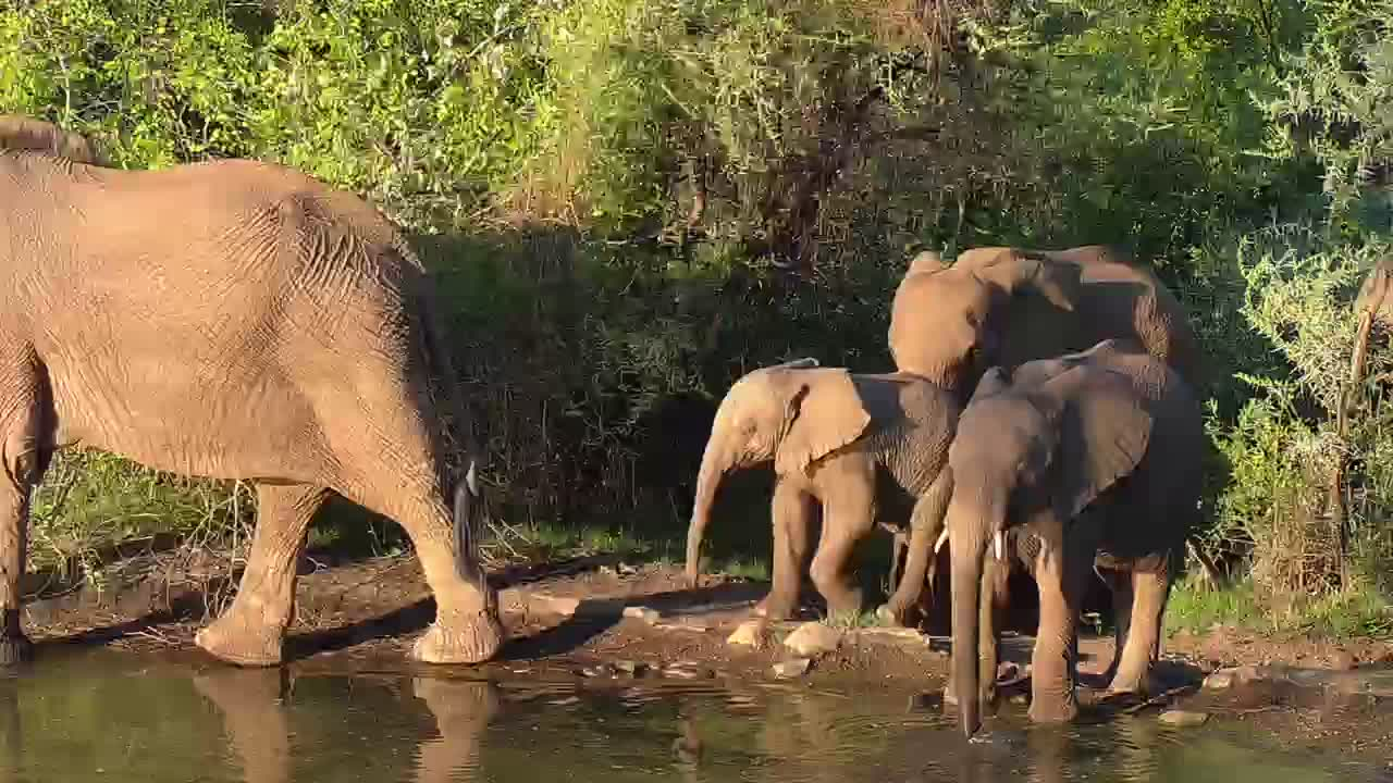 VIDEO: Elephants in golden light