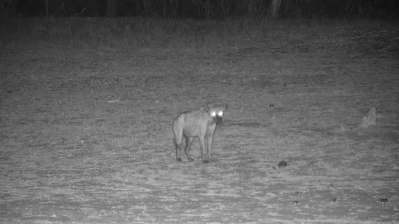 VIDEO:Hyaena passing through