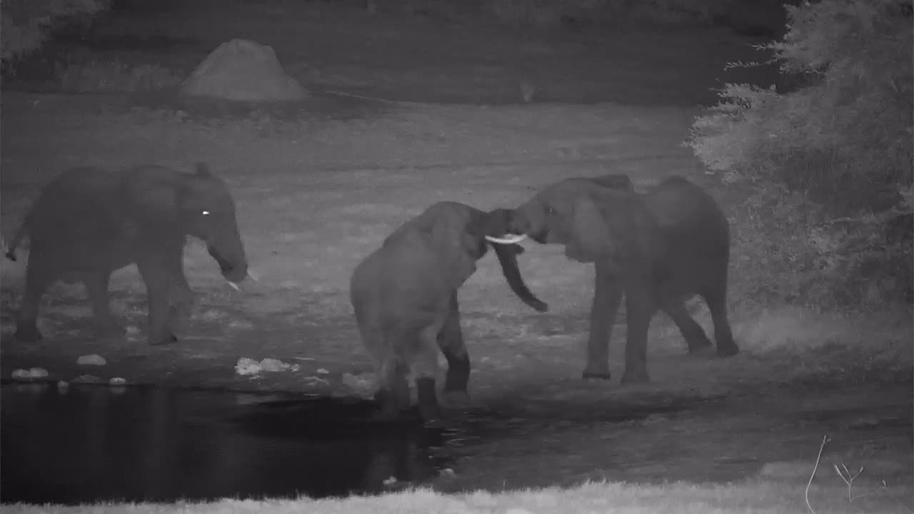 VIDEO: Young Elephant bulls just having fun