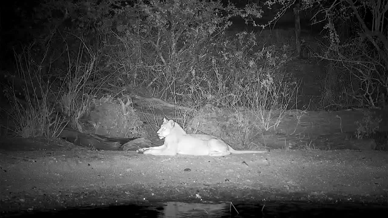VIDEO: Lions leave the waterhole