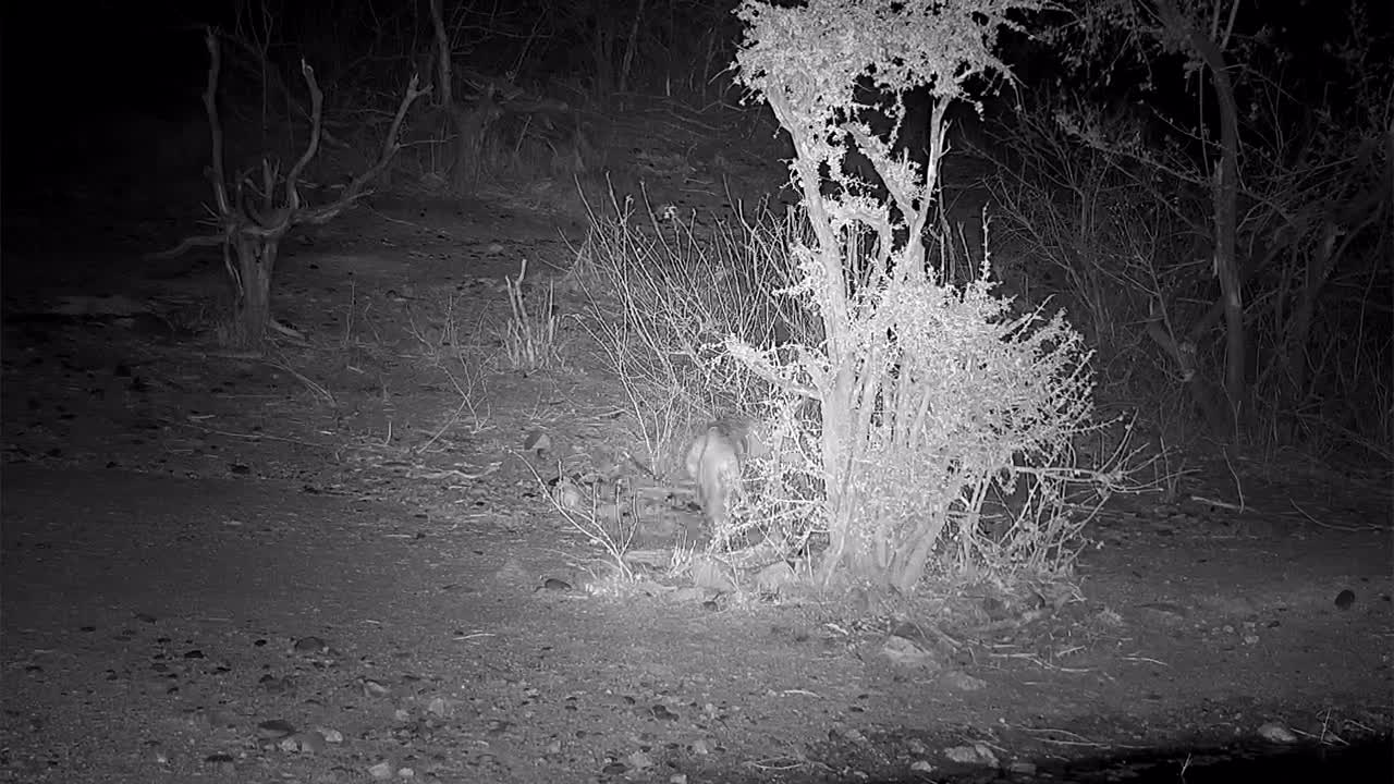 VIDEO: Lioness calls her lost cubs and rushes into the bushes
