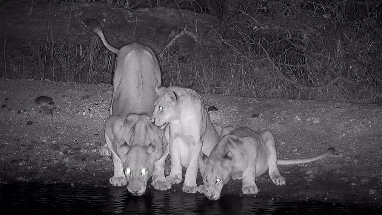 VIDEO: Lioness returns to the waterhole with two cubs