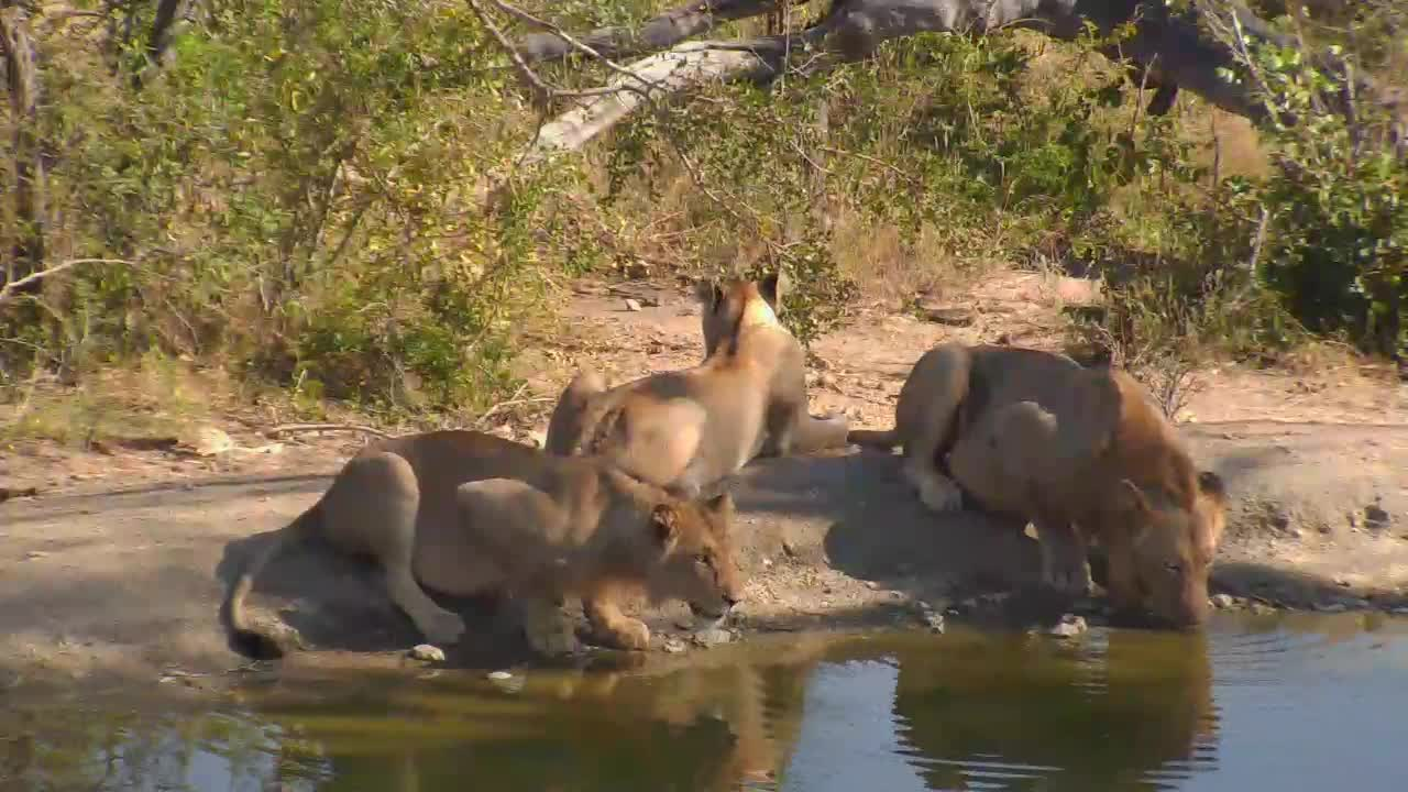 VIDEO:Lions and an Elephant at the waterhole drinking at the same time