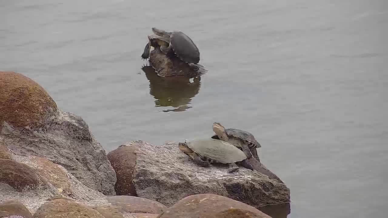 VIDEO: Terrapins out of the water
