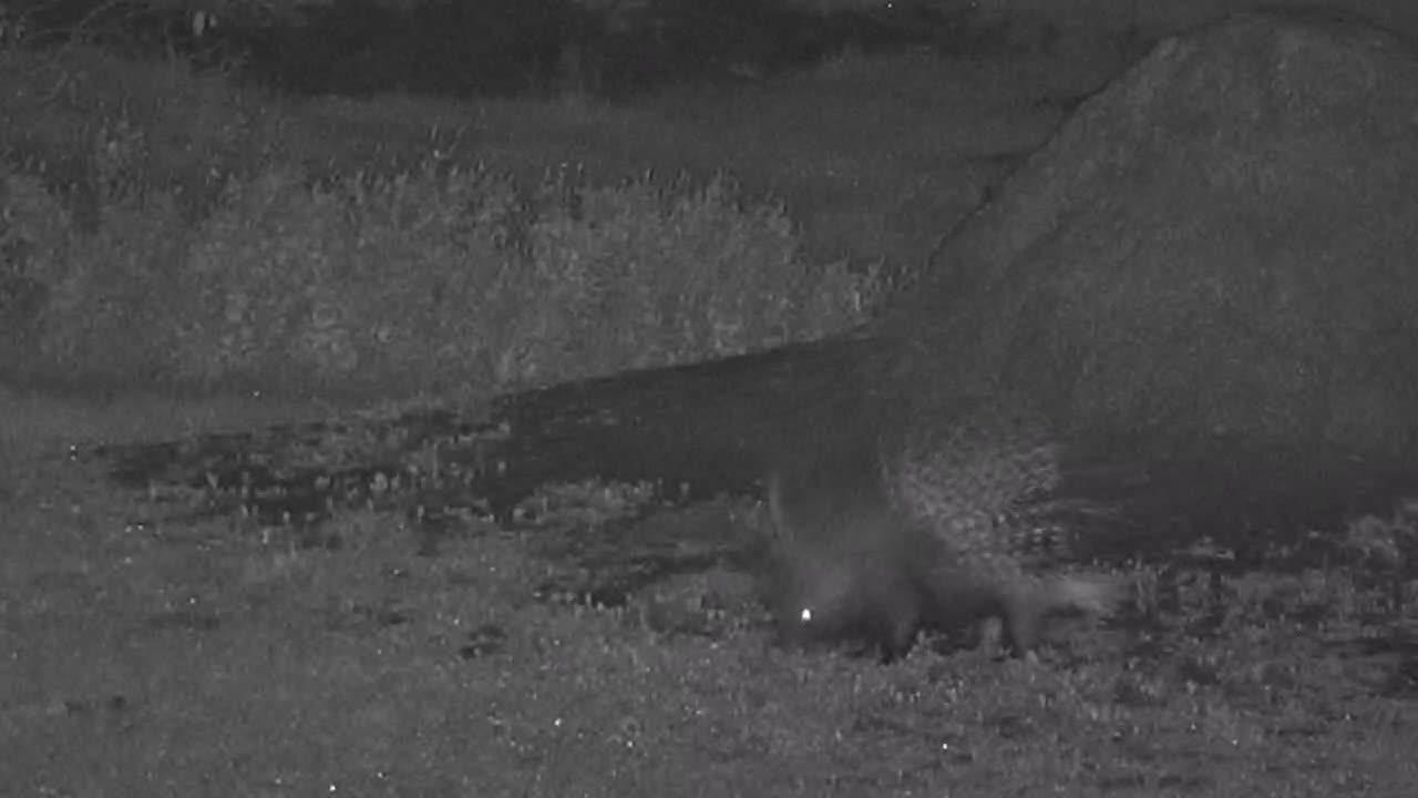 VIDEO: Porcupine Part 2