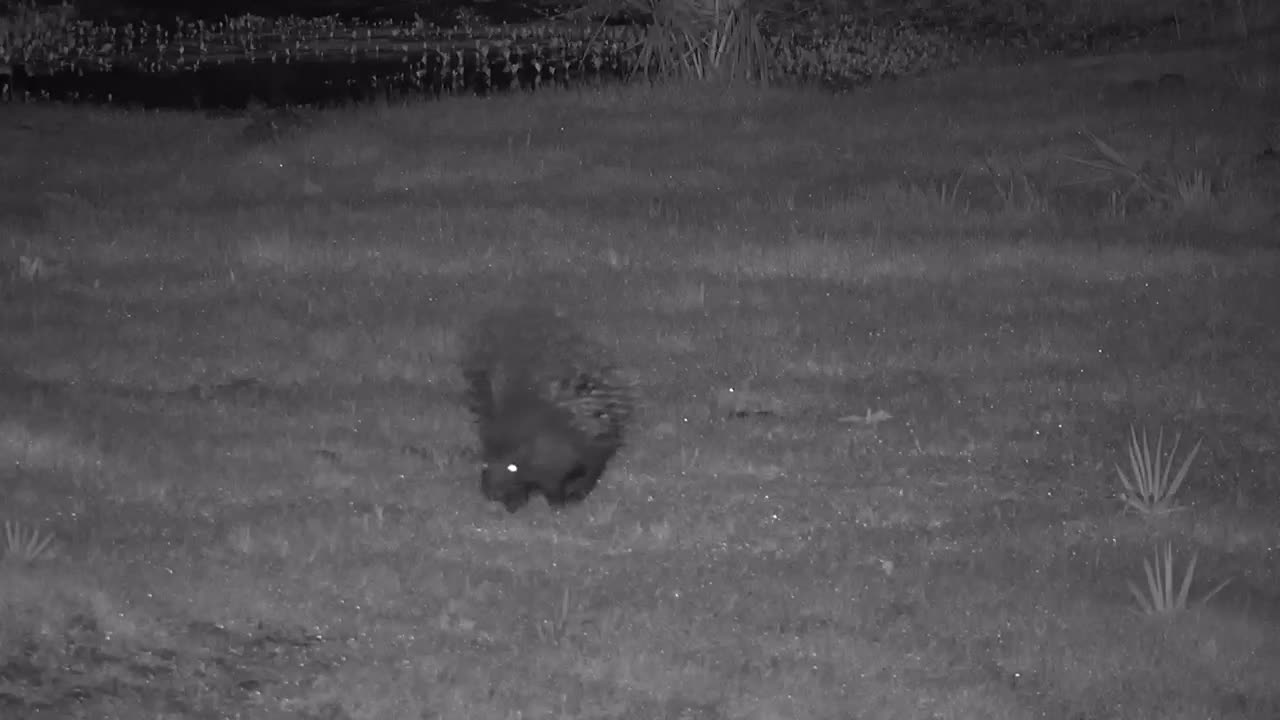 VIDEO: Porcupine