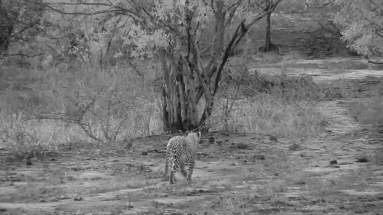 VIDEO: Leopard walking past waterhole and away