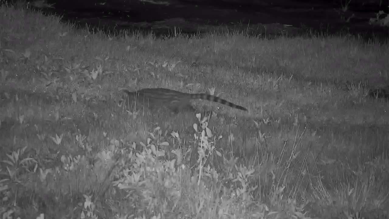 VIDEO: Genet on its nightly forage
