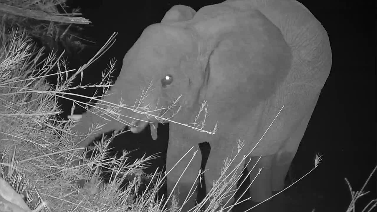 VIDEO: Elephant walking through the river munching away