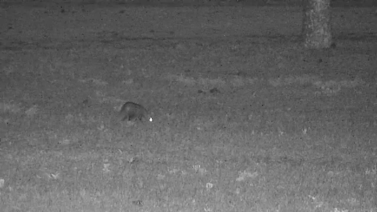 VIDEO: White-Tailed Mongoose