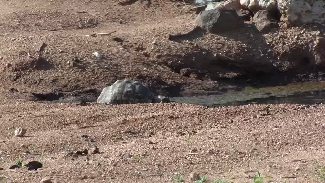 VIDEO: Leopard Tortoise visits the waterhole