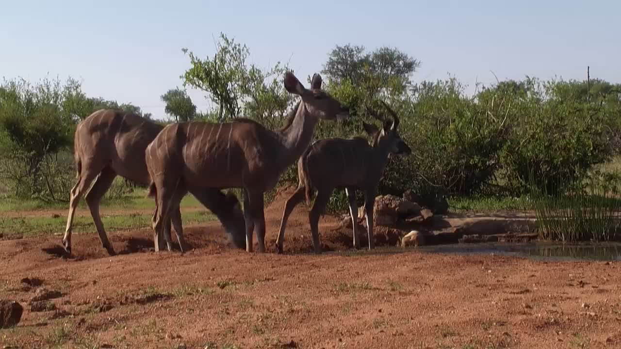 VIDEO: Kudu visit the waterhole
