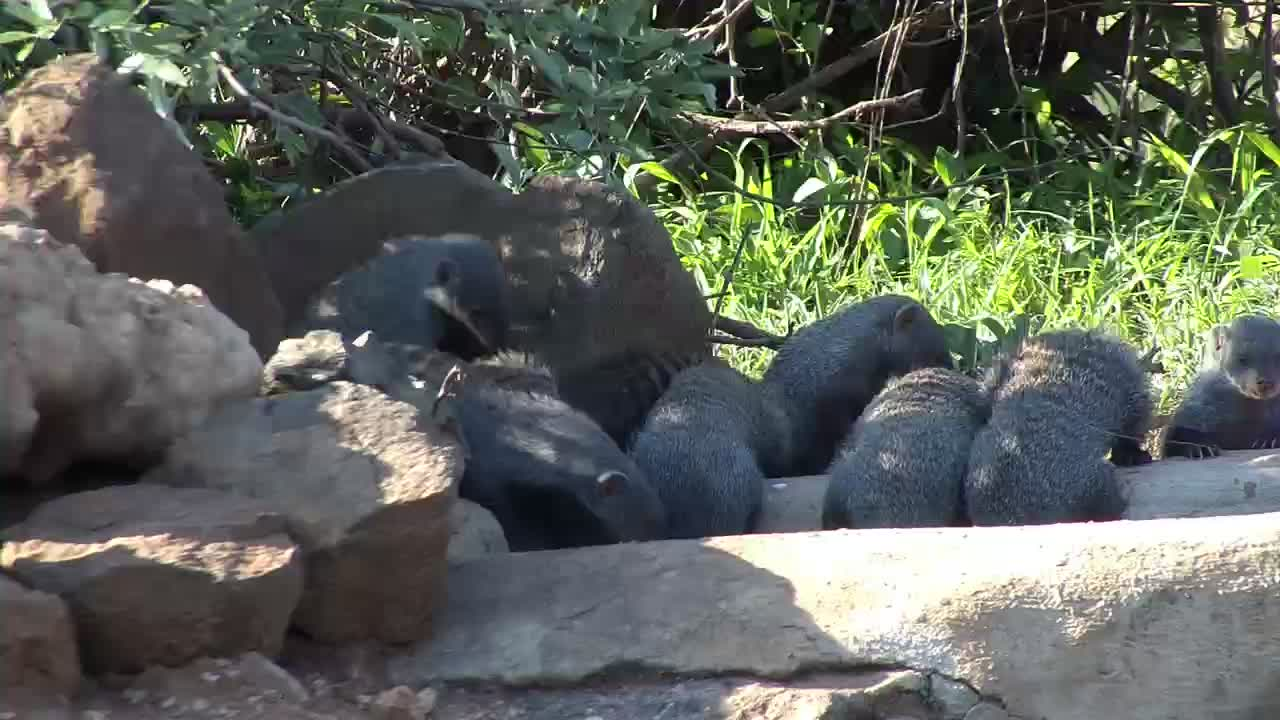 VIDEO: Banded Mongoose family stops by for a drink