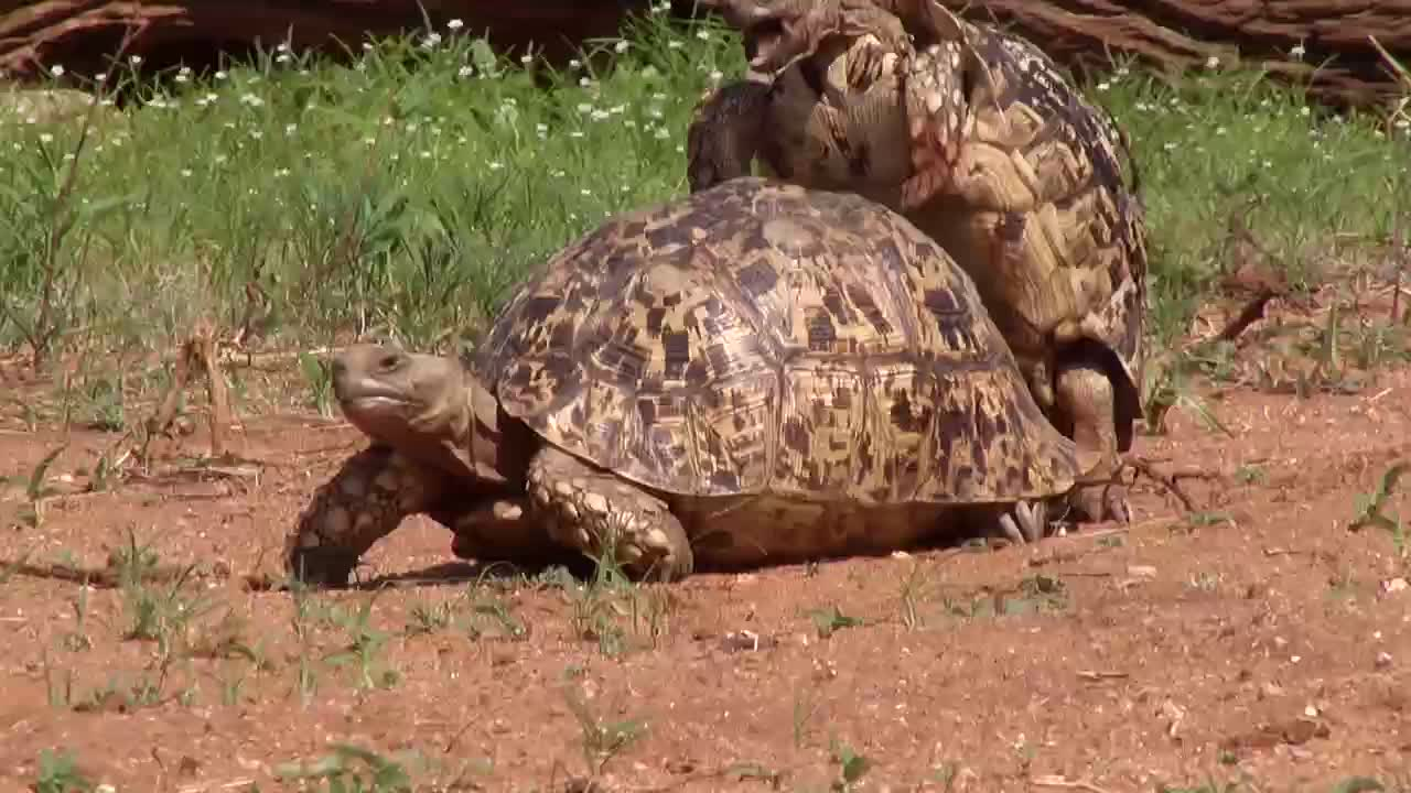 VIDEO: A Pair of Leopard Tortoises Part 1