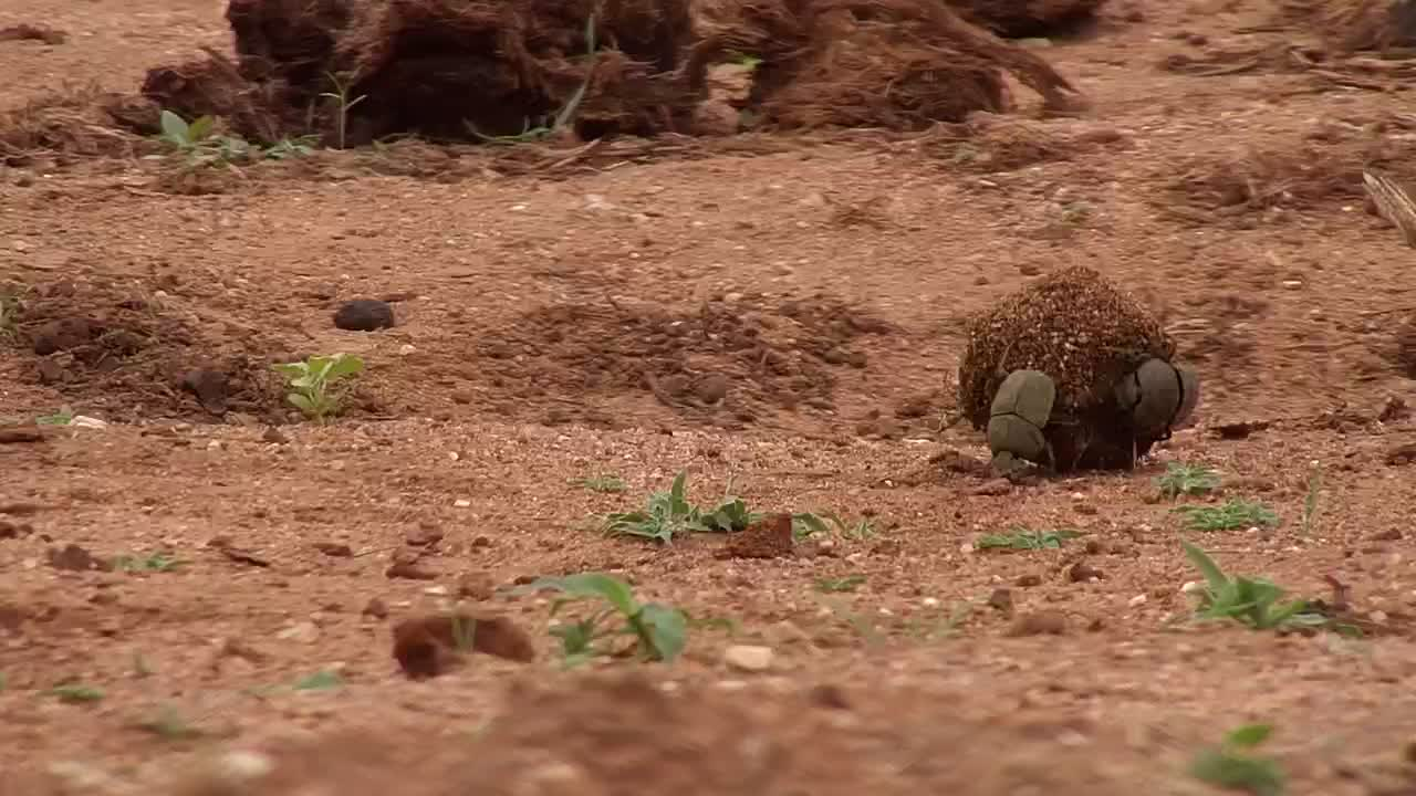 VIDEO: Dung beetles don't choose the easiest routes! (First 3.45 minutes only)