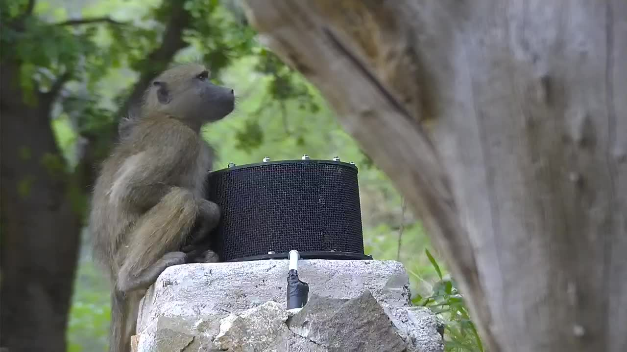 VIDEO: Baboons sitting on microphone