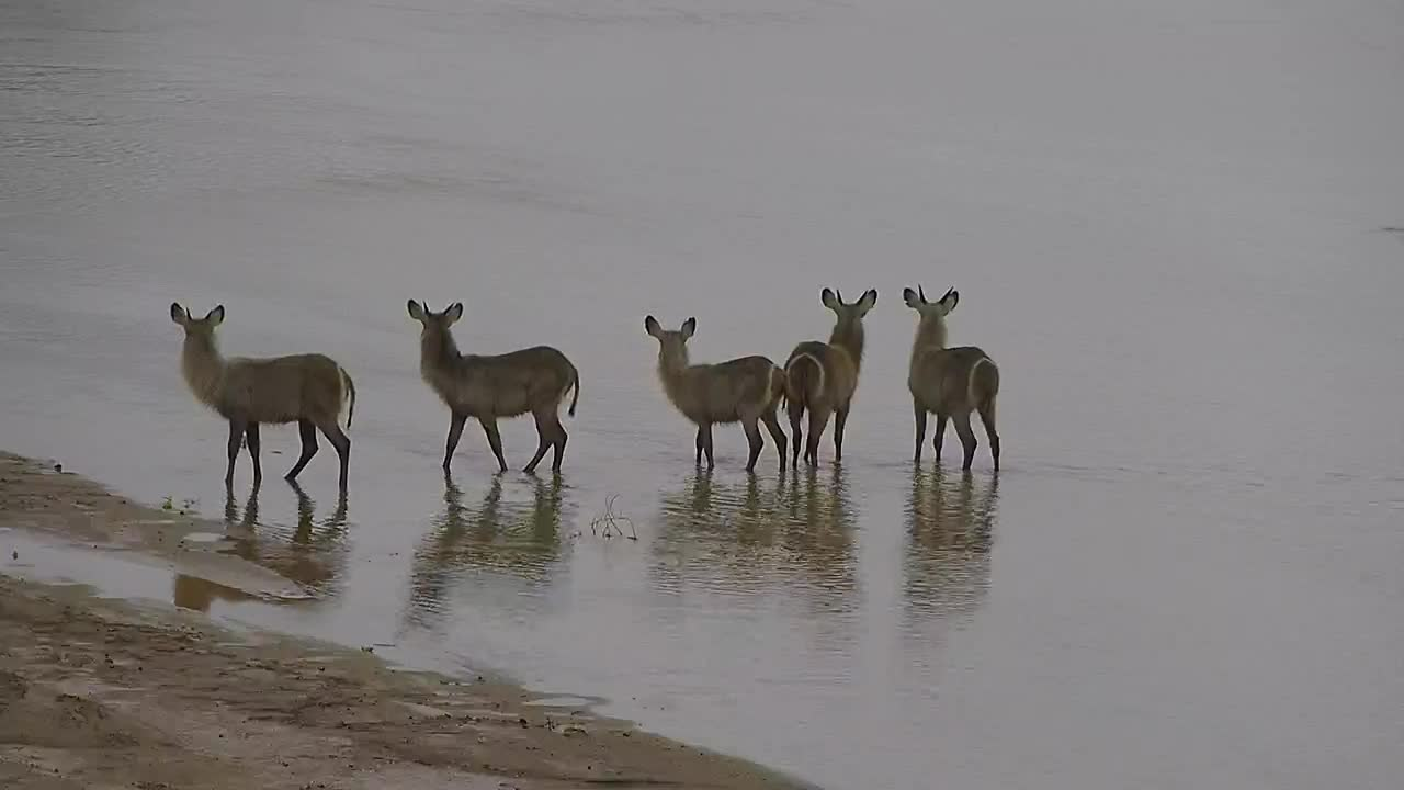 VIDEO: Young Waterbuck cross the river to getaway from the ram